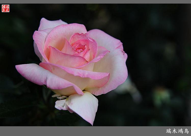 粉红牡丹花丛喷绘素材