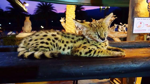 【奇妙体验】清迈夜间动物园