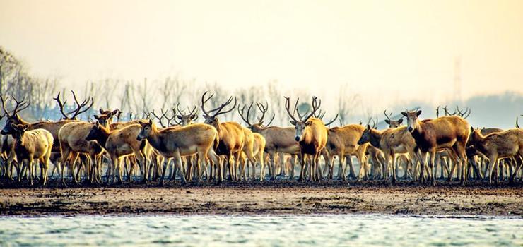 中华麋鹿园