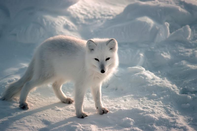 通过北极熊,北极狼,北极狐,蜗牛,企鹅等珍稀面膜极地和海豚,鲨鱼,水母伊思动物白鲸去痘吗图片