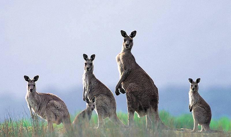 蹦蹦跳跳的澳洲国宝