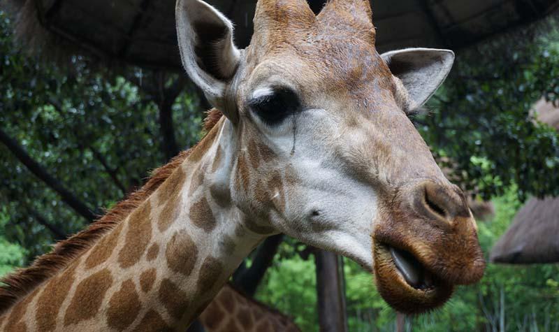 长颈鹿 长腿长脖的美丽动物