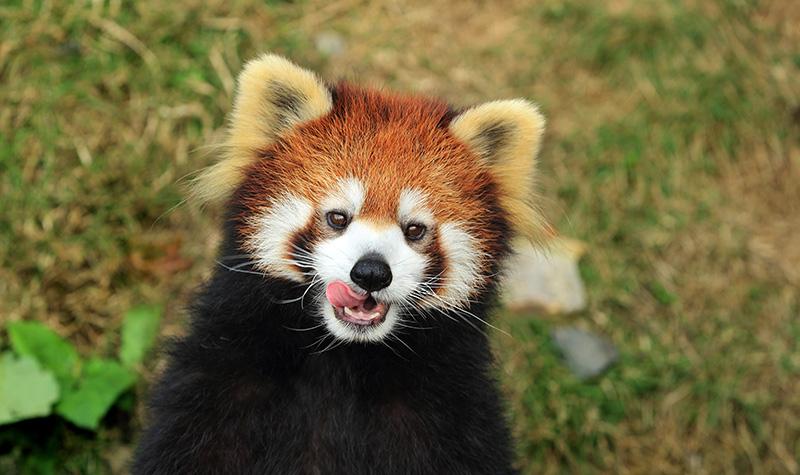 珍稀动物 快来区分大小熊猫