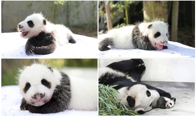 上海野生动物园的熊猫宝宝出生快2个月啦!