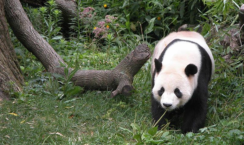大熊猫图片可爱呆萌