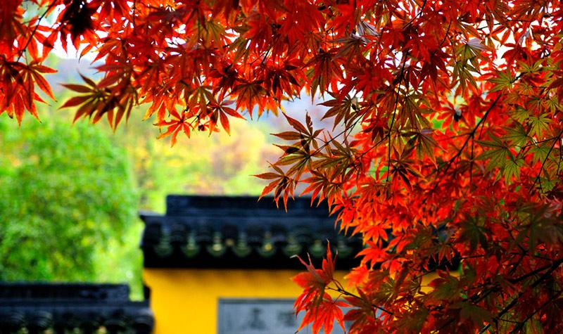 壁纸 枫叶 红枫 树 800_475图片