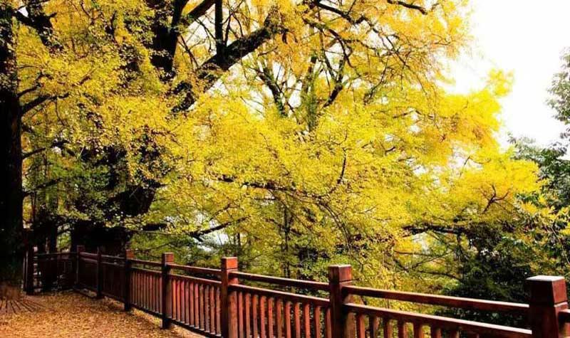 有着茶香天下的蒙顶山皇茶,有着酷炫的树冠漫步,有着千年的古银杏.