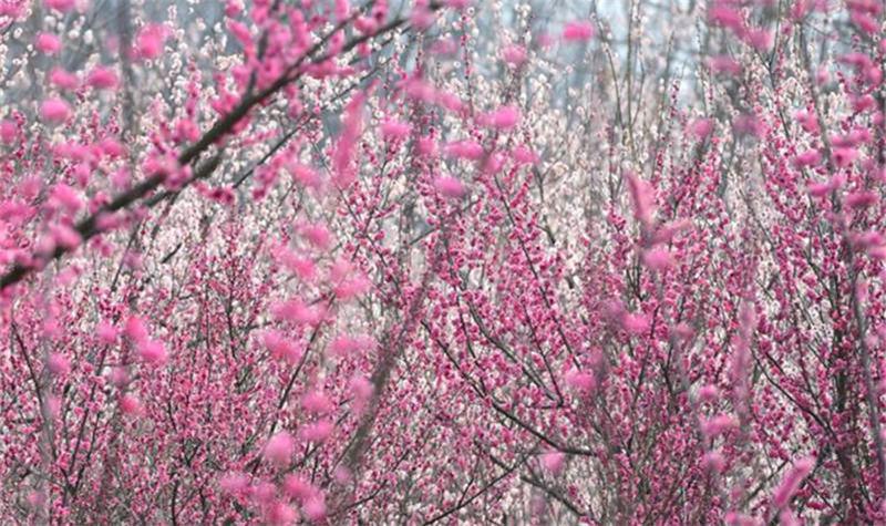 三台山的梅园共有百余种梅树,占地200余亩.